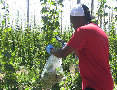 man collecting leaves with mites on them from hops field.
