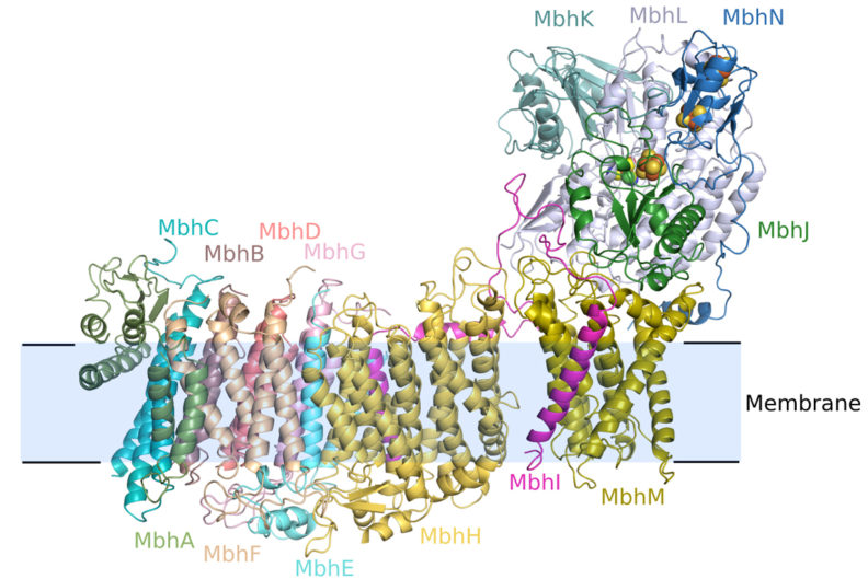 Graphic of MBH structure, which reveals a molecular complex involved in microbial respiration.