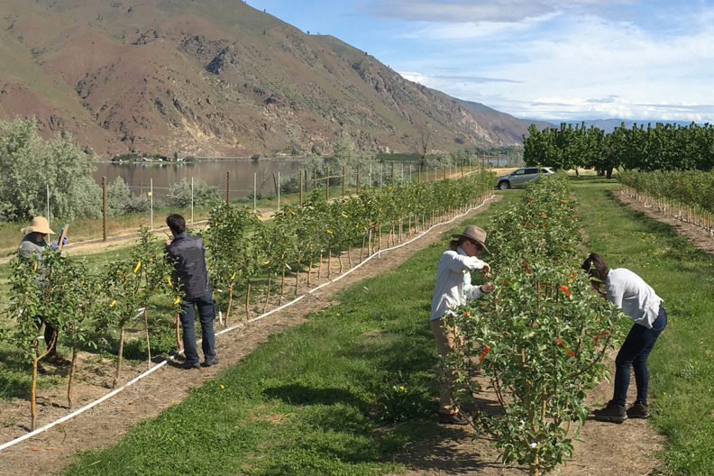 people in apple orchard inoculating trees