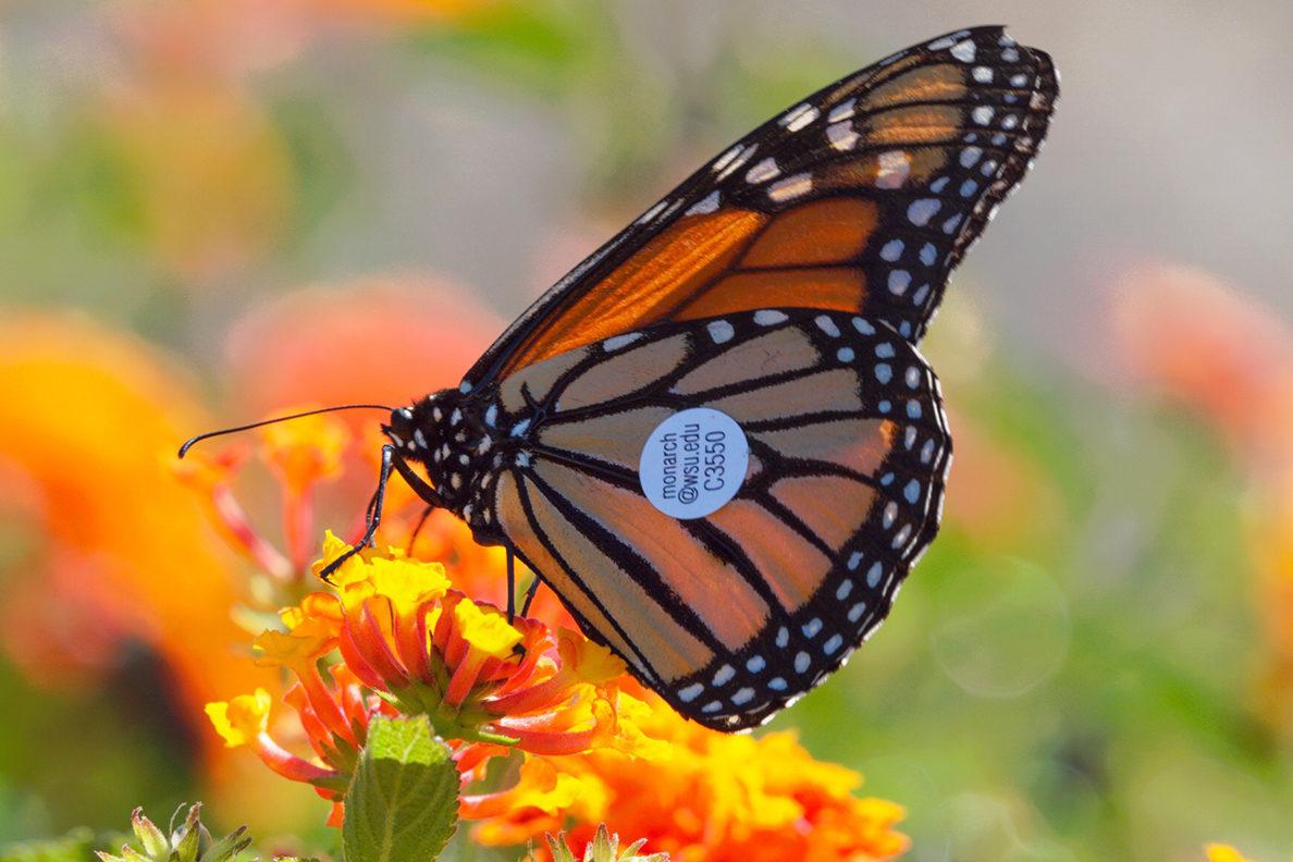monarchs ride west coast winds proof of butterfly migration wsu