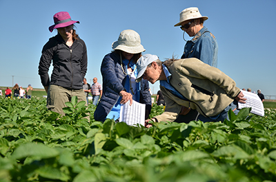 four people inspecting potato plants in field