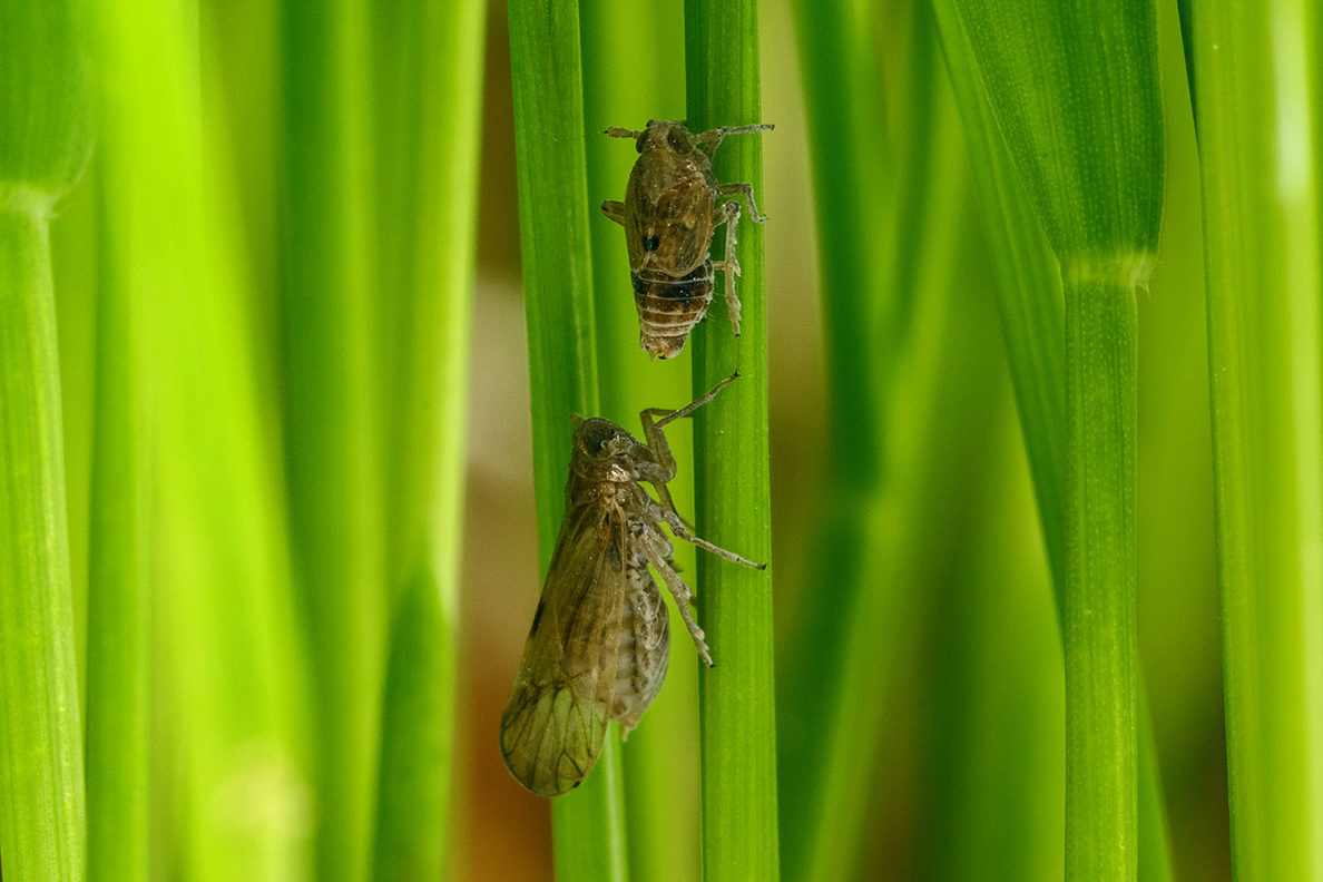 Host Plants Tell Insects When To Grow Longer Wings And Migrate Wsu Insider Washington State University