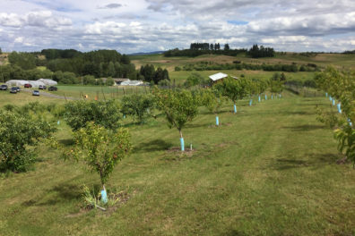rows of trees in orchard