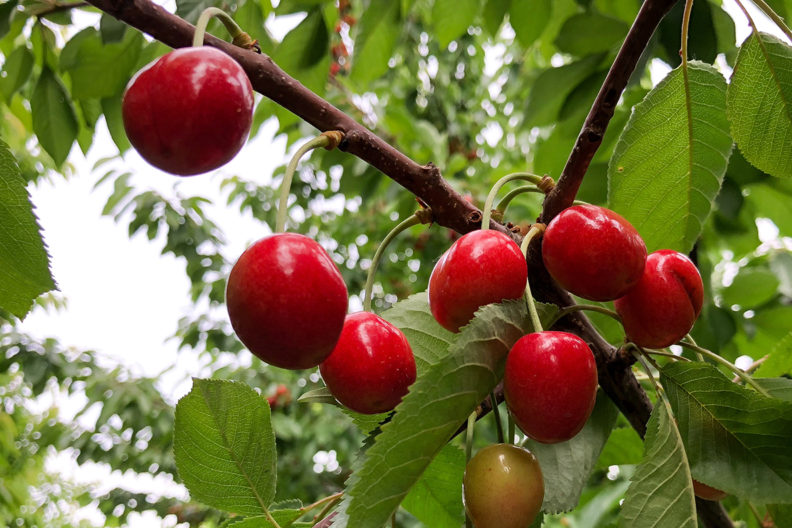 clumps of cherries on tree