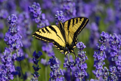 A yellow butterfly with purple wildflowers in the background.
