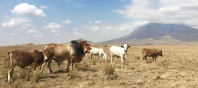Small herd of cattle grazing in east Africa.