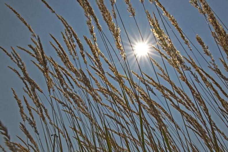 Sun beating down on wheat.