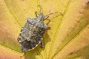 Closeup of brown marmorated stink bug.