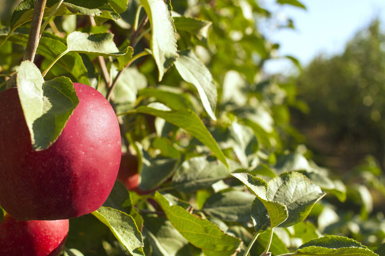 Closeup of cosmic crisp apple in orchard.