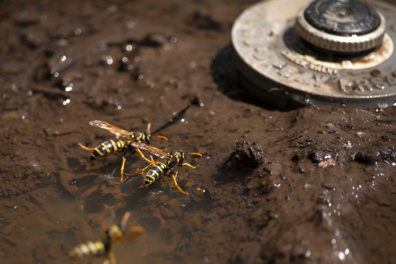 Wasps gather water on puddle near sprinkler head.