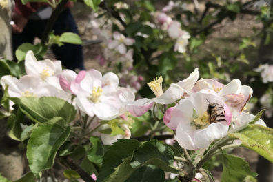 Bee in midst of blossoms in apple orchard.