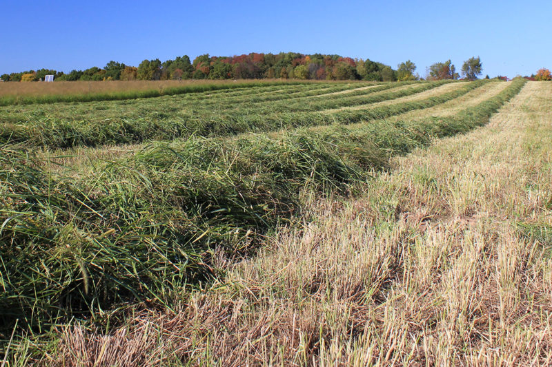 Rows of cut switchgrass drying in a field following harvest.