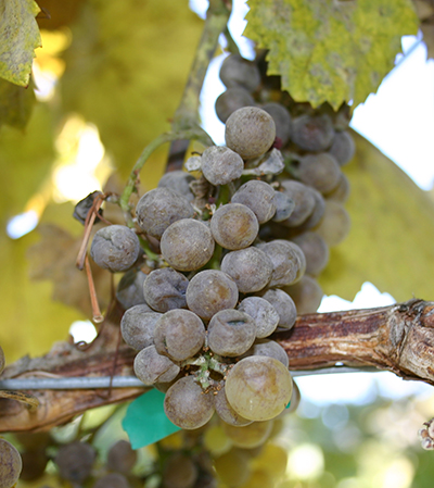 Grapes with mildew.