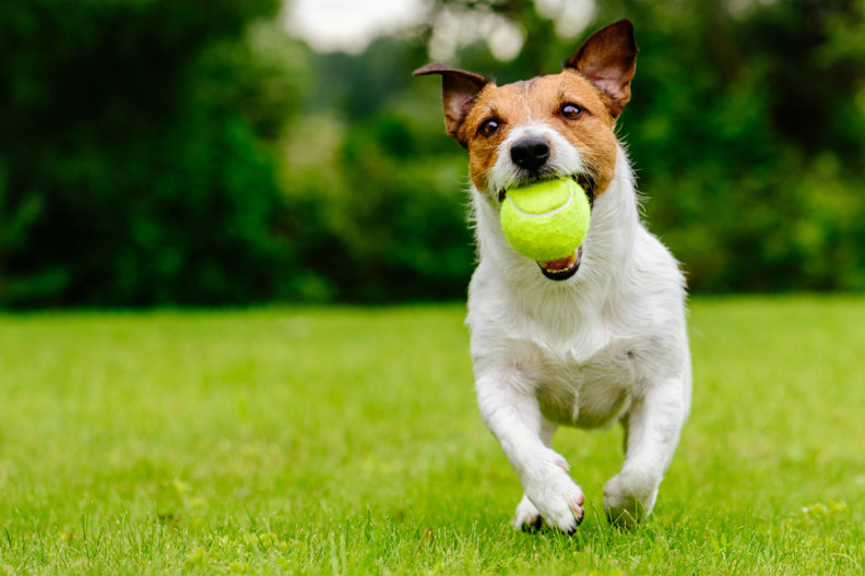 Puppy running with ball in mouth.