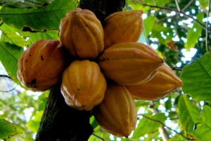Large cluster of cacao pods in tree.