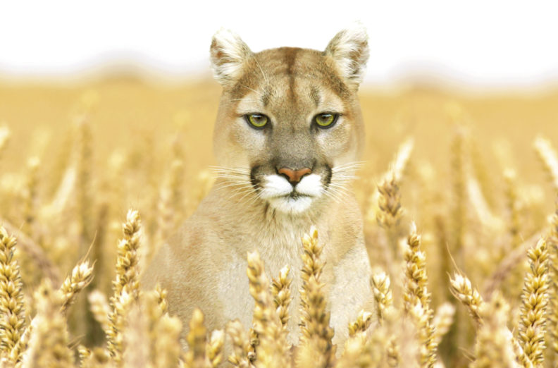 Cougar sitting in wheat field.
