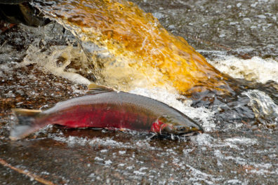 A coho salmon swims near stormwater runoff in a stream.
