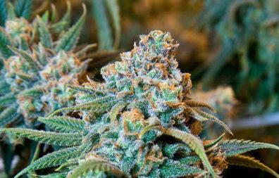 Closeup of a cannabis plant.