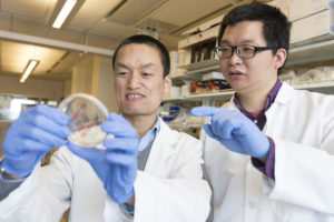 Cheng and Xia examine bacterial cultures on petri dish.