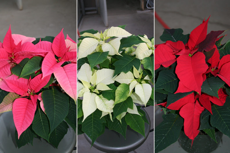 Closeups of pink, white and red poinsettias.
