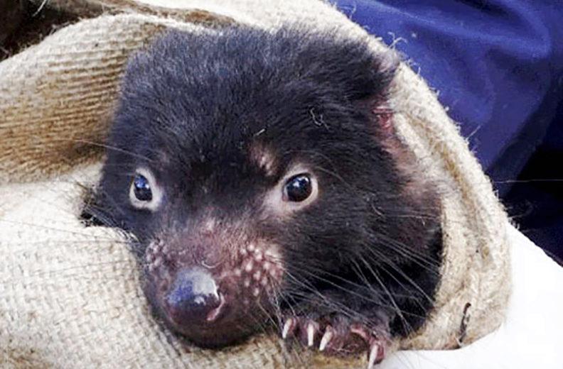 Closeup of young Tasmanian devil held in blanket.