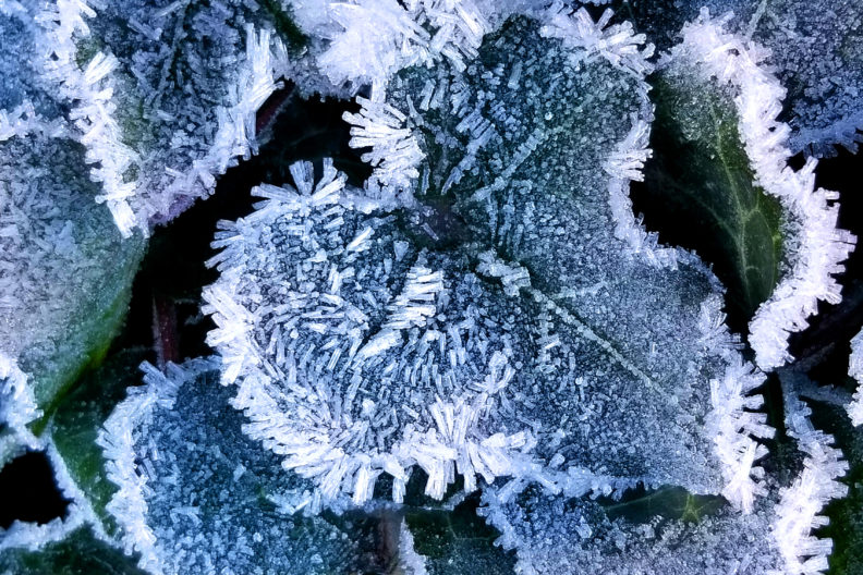 leaves covered in hoary crystal frost