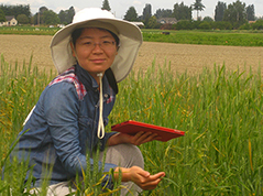 Liu inspecting wheat plants for rust.