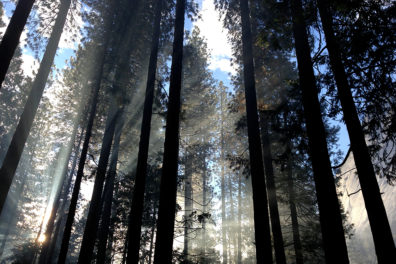 Light shining through pine trees in forest.