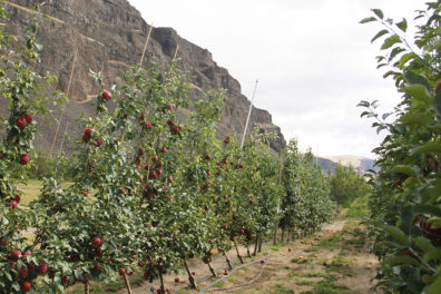 A row of young apple trees.