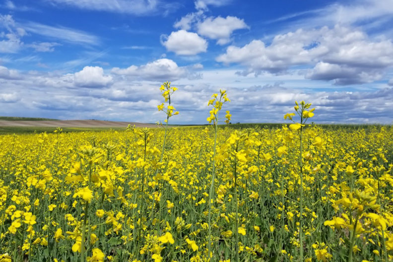 Field of canola with yellow blossoms.