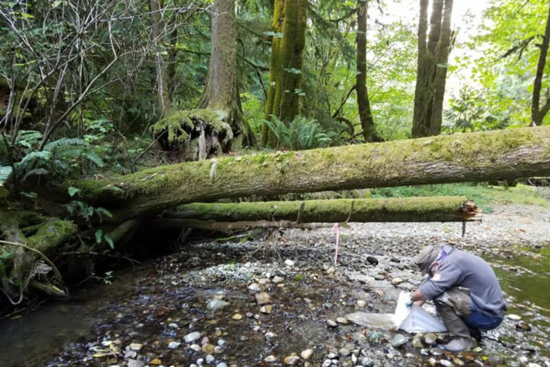 Stream with fallen trees extending across it in forested area.