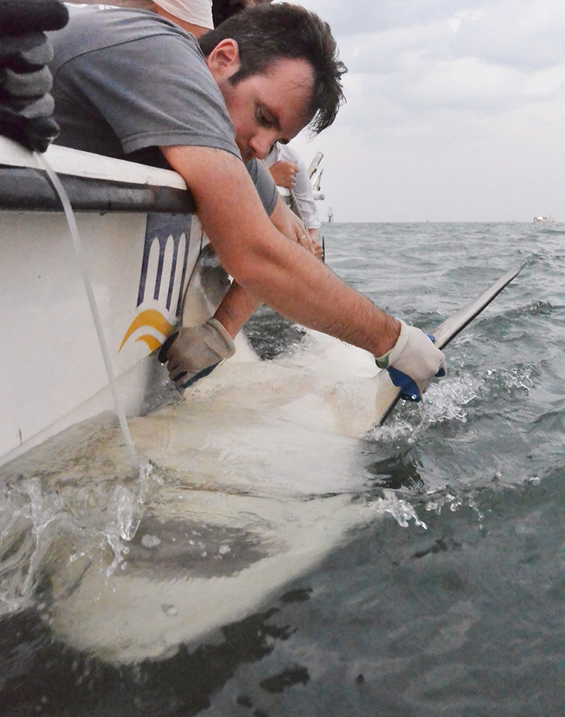 Man leans over side of a boat holding onto shark and inspecting it.