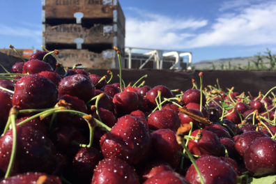 Closeup of a truckload of picked dark cherries.