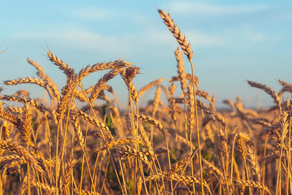 Closeup of a wheat field.
