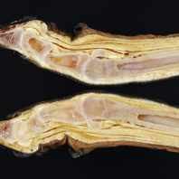 A lengthwise section of an elk hoof showing bones and tissues.