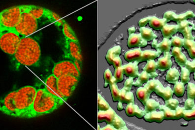 Microscopic view of thylakoid membranes inside chloroplasts.