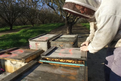 Hopkins in beekeeper suit checking one of several hives.