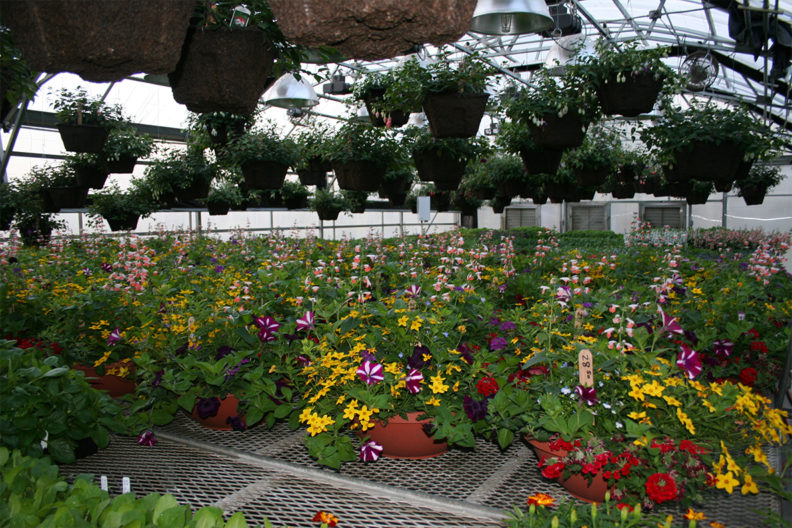 Flowers in a greenhouse.