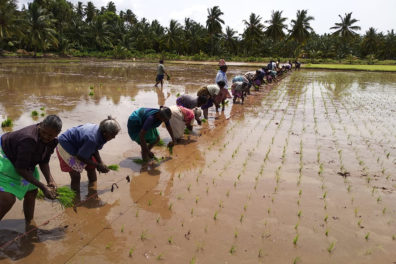 Farmers planting rice seedlings in an irrigated paddy field.