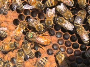A group of bees. One of which is fixed with a Radio-Frequency Identification Device.