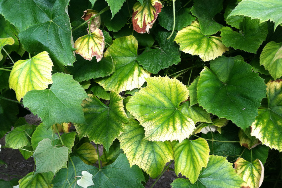A typical case of chlorosis affecting the leaves of Concord grape vines.