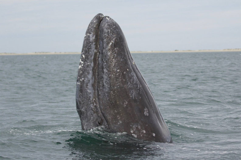 Image of a gray whale.