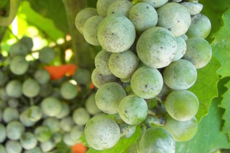 Closeup of a cluster of grapes with powdery mildew.
