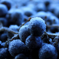 Closeup of several wine grapes.