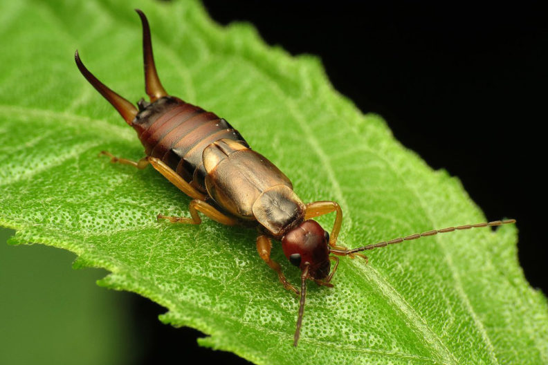Closeup of European earwig.