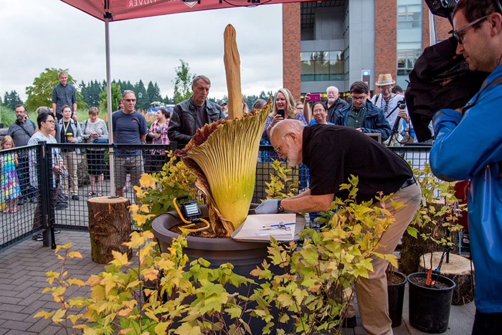 Spectators watch as Sylvester cuts open Titan VanCoug's spathe.