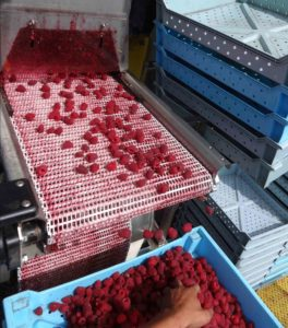 Raspberries rolling off a machine harvester.