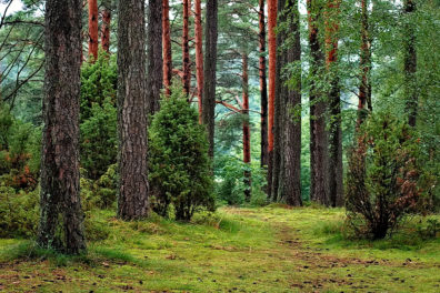 A closeup of several trees in a forest.