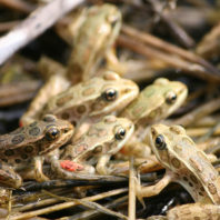 Northern leopard frogs