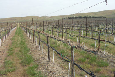 A vineyard irrigation system